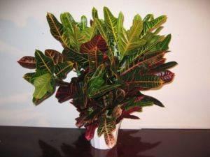 Комнатный цветок с красно зелеными листьями 72