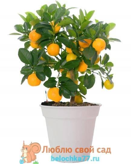 Апельсиновое дерево из косточки