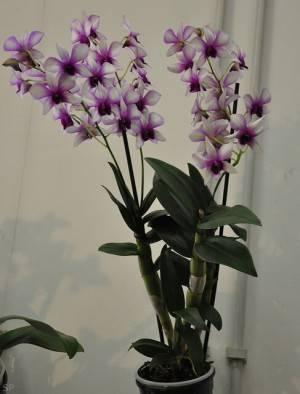 Как размножать орхидеи фаленопсис в домашних условиях