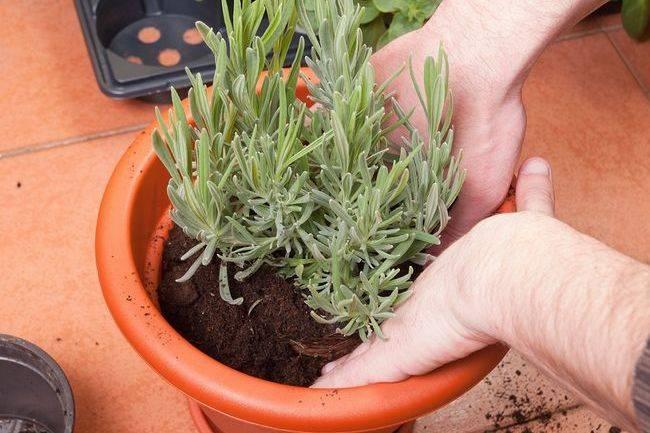 Лаванда выращивание дома в горшке