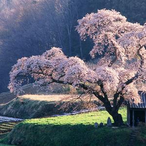 Сакура значение цветка
