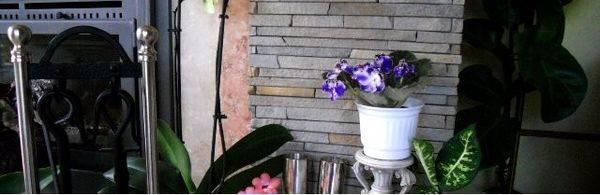 Узамбарская фиалка уход в домашних условиях