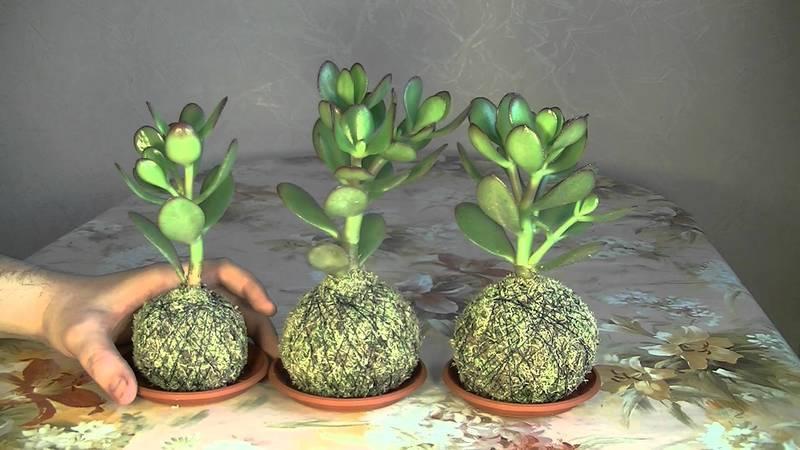 Как посадить денежное дерево из отростка