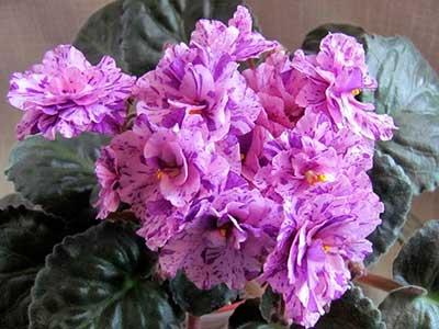 Домашние цветы фиалки и уход за ними
