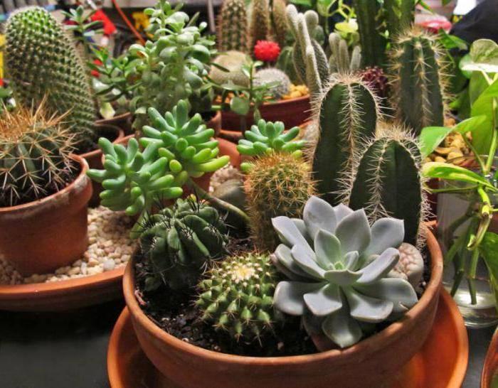 Можно ли кактусы выращивать дома
