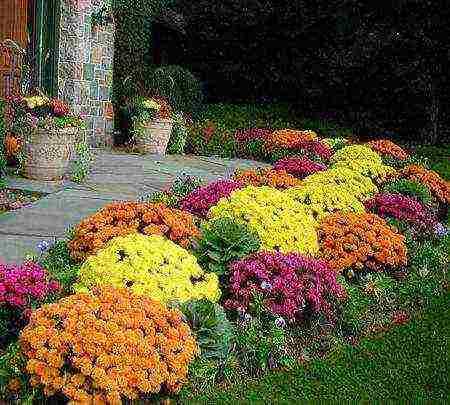 Посадка хризантем осенью