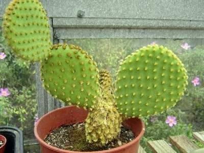 Плоды кактуса опунция полезные свойства