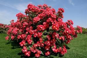Посадка розы в открытый грунт весной