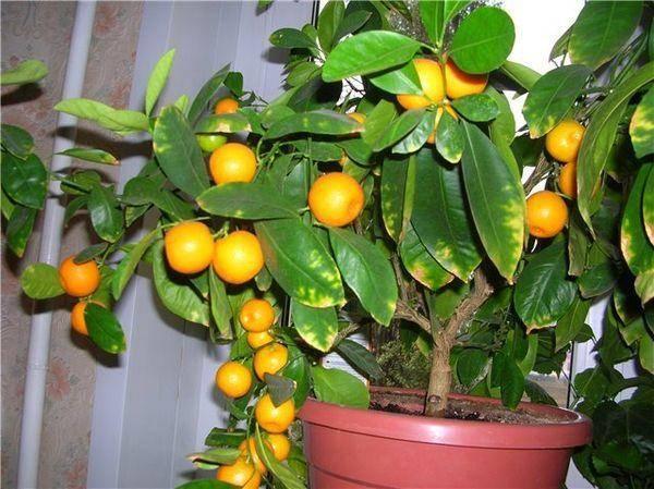 Прививка мандарина