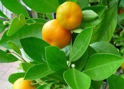 как привить мандарин в домашних условиях