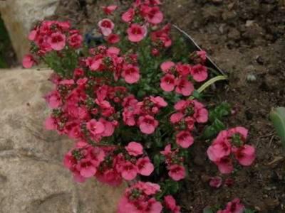 Диасция цветы