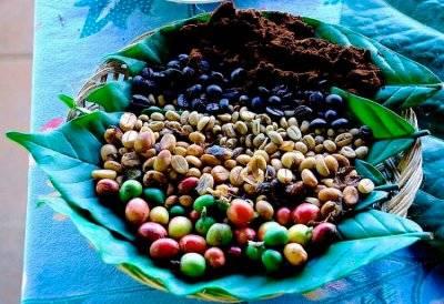 Кофе растение