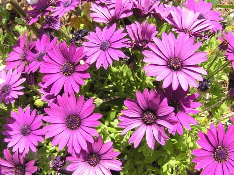 Полевые цветы похожие на ромашки