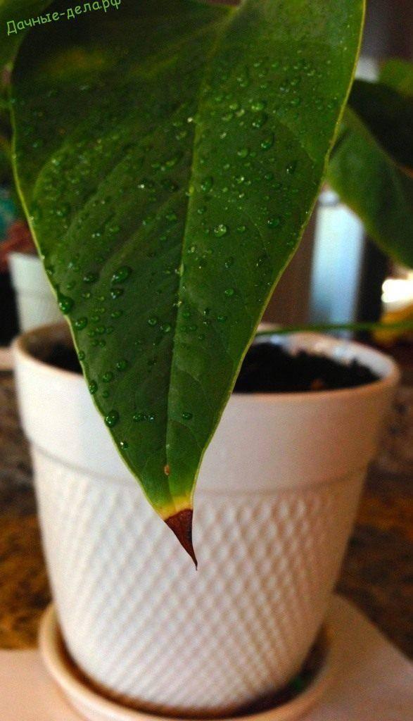 Почему у цветов сохнут кончики листьев