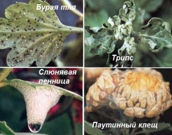 Хризантема корейская лелия