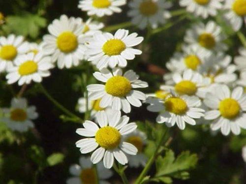 Цветок пиретрум посадка и уход