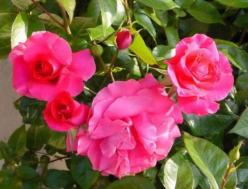 Роза Manou Meilland