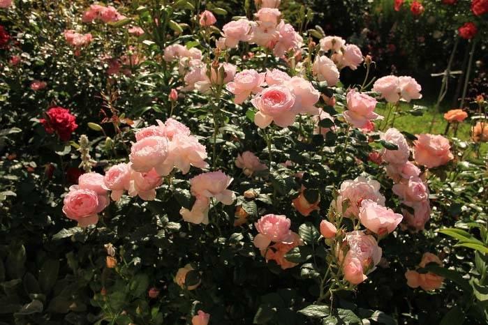 Розы остина сорта