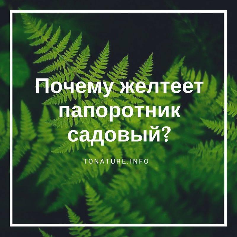 Почему у папоротника сохнут листья