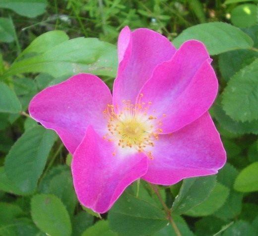 Шиповниковая роза