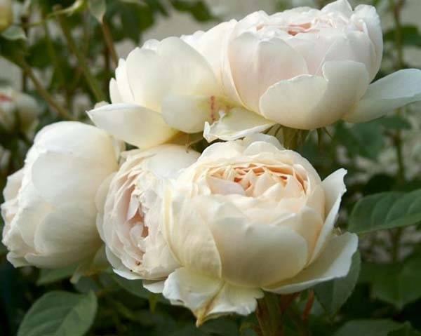 Вялая роза