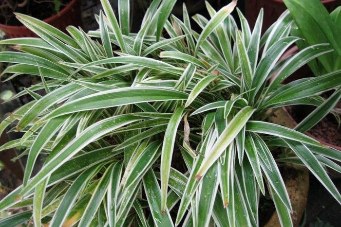 Сухие кончики листьев хлорофитума