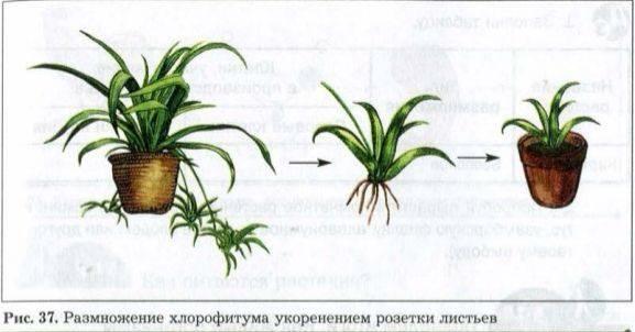 Почему у хлорофитума чернеют кончики листьев