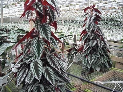 Неприхотливые домашние растения