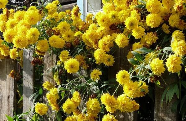 Цветы желтые шары