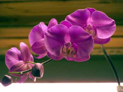 Каода орхидея