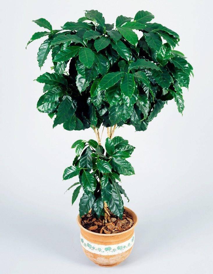 Самое популярное домашнее дерево