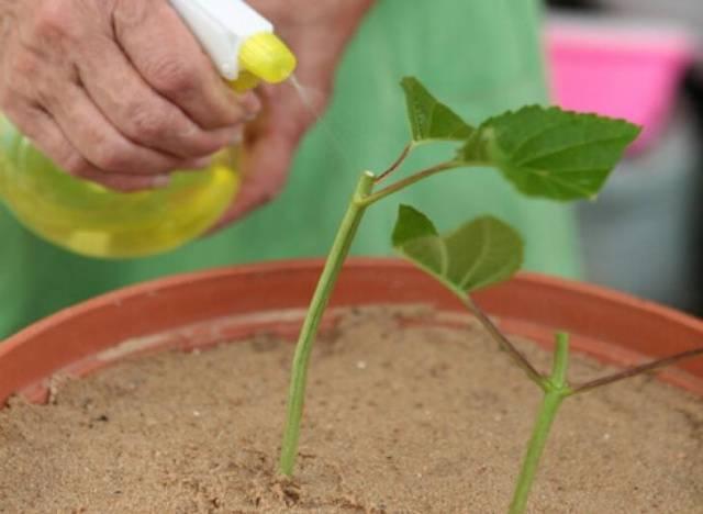Как размножить гортензию древовидную