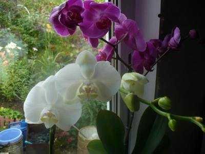 Удобрения для орхидей фаленопсис