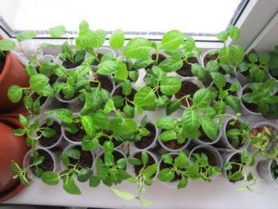 Выращивание фуксии из семян в домашних условиях
