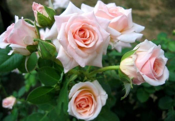 Уход за чайной розой