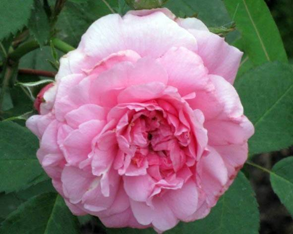 Джон девис роза