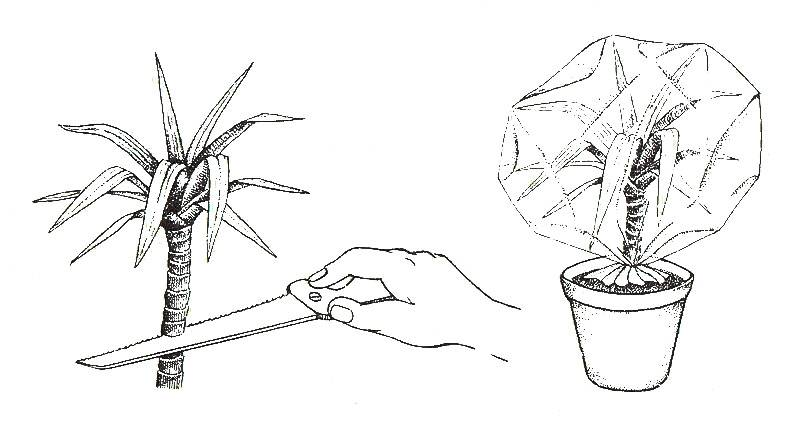 Цветок комнатный пальма
