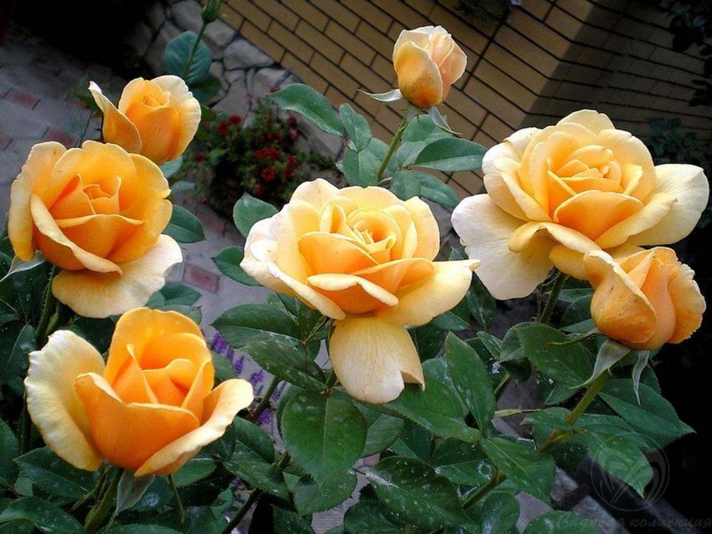 Чайно гибридная роза ландора