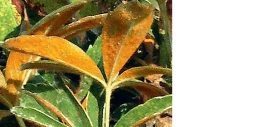 Как размножить лапчатку кустарниковую