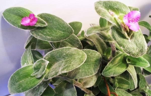 Традесканция растение