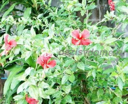Как размножить китайскую розу в домашних условиях