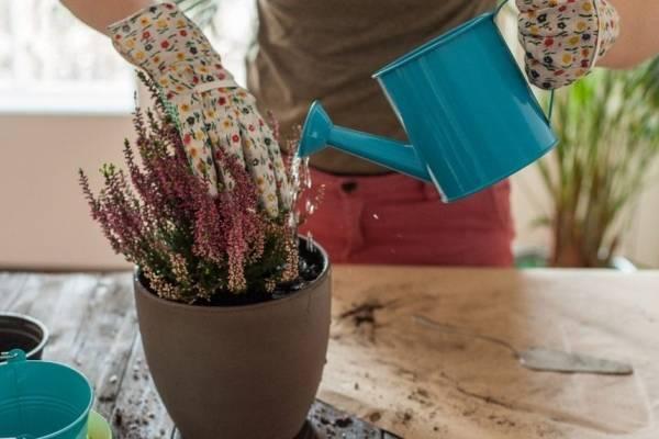При приготовлении дрожжевого раствора и поливе цветов следует соблюдать точную концентрацию