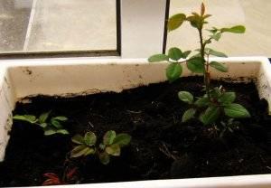 Как развести розы черенками в домашних условиях