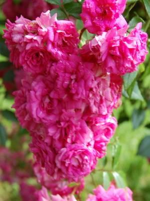 Цветочки розы