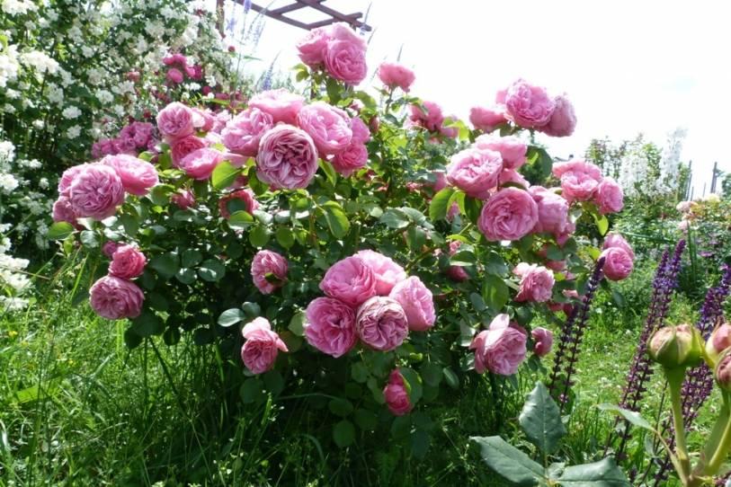 Черные пятна на листьях розы