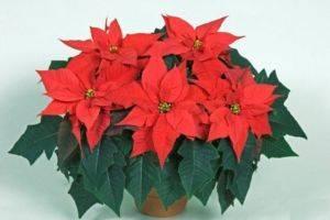 Комнатный цветок с красными цветами листьями 182