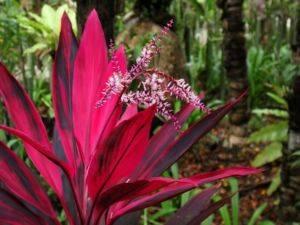 Комнатный цветок с красными цветами листьями 31