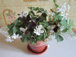 Комнатный цветок с красными цветами листьями 30
