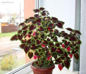 Комнатный цветок с красными цветами листьями 91