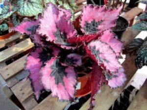Комнатный цветок с красными цветами листьями 45